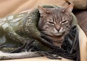 Domestic Tabby Cat Sleeping In A Blanket