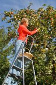 stock photo of apple orchard  - Woman on stairs picking fresh apples from apple tree in garden - JPG