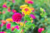 image of lantana  - Flowers Lantana  camara on the green blur background - JPG