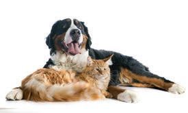 pic of coon dog  - portrait of a purebred bernese mountain dog and maine coon cat in front of white background - JPG