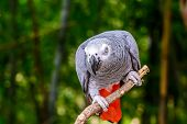 African Grey Parrot.