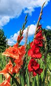 picture of gladiolus  - Red and salmon colored gladiolus flowers in the field - JPG