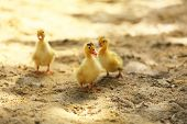 Little cute ducklings on sand, outdoors