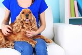 English cocker spaniel on sofa with owner