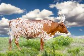 stock photo of texas-longhorn  - Female Longhorn cow grazing in a Texas pasture - JPG
