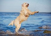 adorable golden retriever dog on the beach
