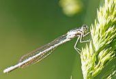 Dragonfly On Ear