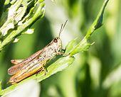 Grasshopper On Stem
