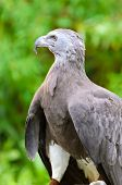 image of fish-eagle  - Lesser Fish Eagle  - JPG