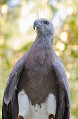 Lesser Fish Eagle ( Ichthyophaga Humili )