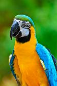 Blue And Gold Macaw Colorful Birds