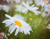 picture of hay fever  - a bunch of pretty daisy like flowers - JPG