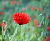 red poppy flowers blooming in the spring