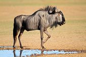 Blue wildebeest (Connochaetes taurinus) at a waterhole, Kalahari desert, South Africa