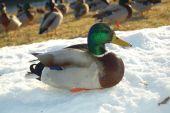 stock photo of ringneck  - A mallard ring necked duck enjoying the sun on snow - JPG