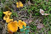 Chanterelle mushroom in the forest