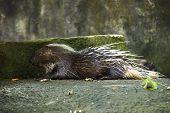 Porcupine Asleep