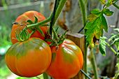 three large orange tomatoes on the vine