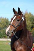 Beautiful Holsteiner Brown Horse Portrait