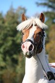 Beautiful Arabian Horse Portrait In Summer