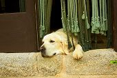 Golden retriever dog in the door