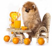 Pomeranian  Spitz and orange oranges
