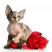 The Canadian Sphynx With Rose