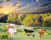 Longhorn Cows And Calves Grazing At Sunrise
