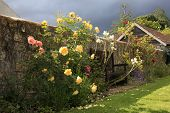 stock photo of english rose  - Beautiful yellow and pink roses in an English country garden - JPG