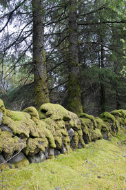 picture of irish moss  - old stone walls covered in green moss at woods in Ireland - JPG