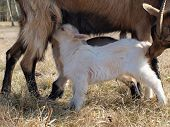 Goat Breastfeed Cubs