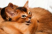picture of ruddy-faced  - Abyssinian kitten licks itself and lying with other kittens - JPG