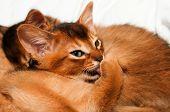 Kitten Licks Itself