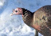 stock photo of wild turkey  - Closeup of a wild tom turkey in the snow. ** Note: Shallow depth of field - JPG