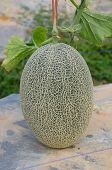 picture of oblong  - Oblong netted melon about to be harvested - JPG