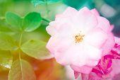 Closeup Beautiful Macro Pink Rose
