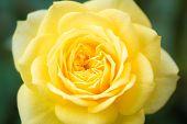 Closeup Beautiful Macro Yellow Rose