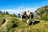 Black Mottled Cow In The Alps
