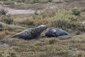 Grey Seal Bulls Fighting.
