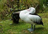 Pelican On Land