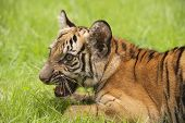 stock photo of tiger cub  - Baby Indochinese tiger plays on the grass - JPG