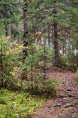 Narrow Lane In Dark Autumnal Forest, Russia