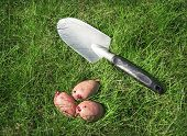 Seed Potatoes And Scoop On The Grass