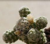 Cactus Mammillaria bocasana blossom