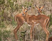 two South African baby Impala.