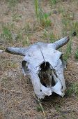 foto of cow skeleton  - Old cow skull on desert ground and grass - JPG
