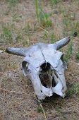 foto of cow skeleton  - Old cow skull on desert ground and grass - JPG