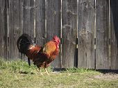 Beautiful cock near the fence.