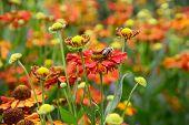 Helenium Hybridum Flowers And Honeybee