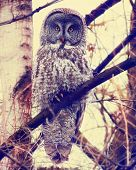 a great gray owl toned with a retro vintage instagram filter effect